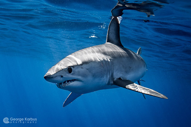 Mako (Isurus oxyrinchus) - Photo by George Karbus