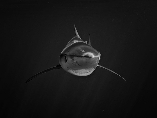 Blue shark - Foto di Jan Reyniers