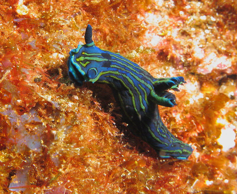Nudibranch - Photo by Justin Hart