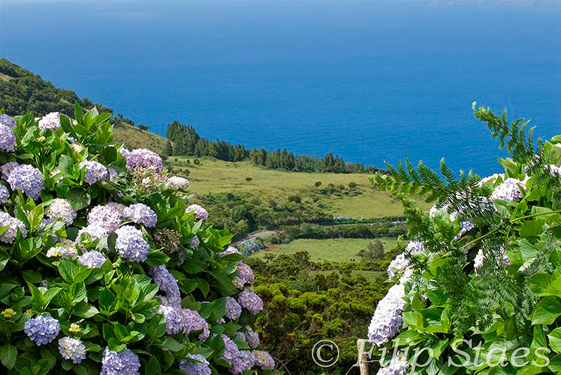 Hydrangeas of Pico - Photo by Filip Staes