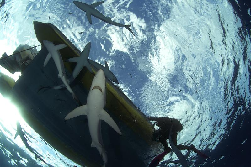 Shark Diving in Pico - Photo by Jan Reyniers