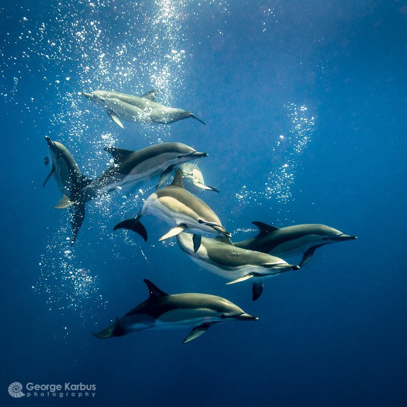 Common dolphins - Photo by George Karbus